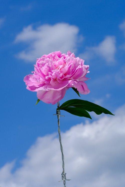peony  rose  paeonia