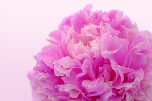 peony  rose  wellness