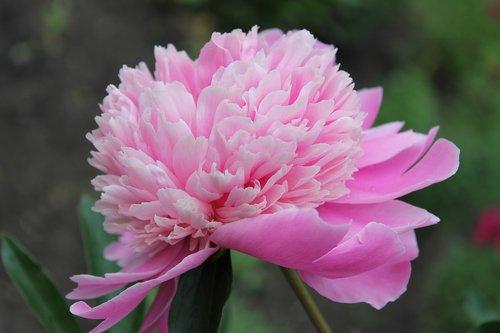 peony  flower  pink peony