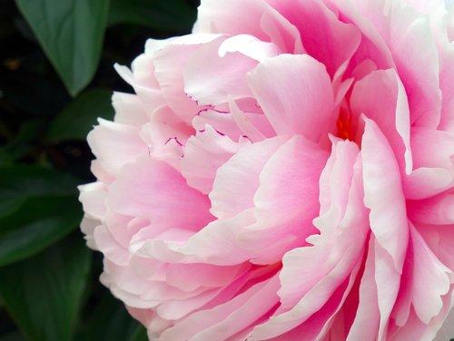 peony  blossom  bloom