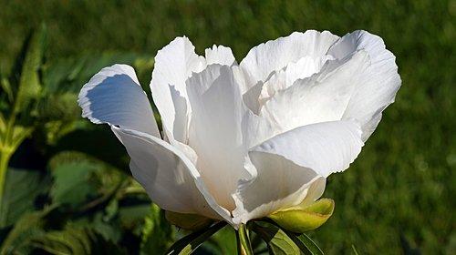 peony  white  blossom