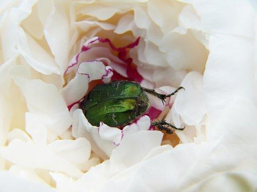peony  beetle  rose beetle