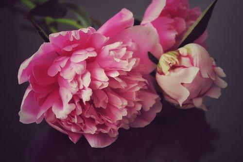 peony  peony bouquet  flowers