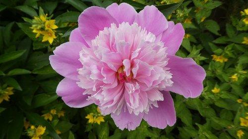 peony  paeonia  pink flower