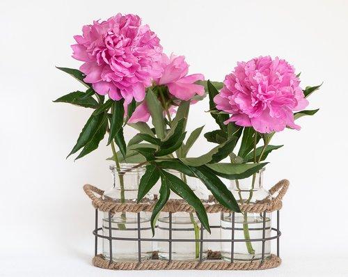 peony  pink  pink peonies