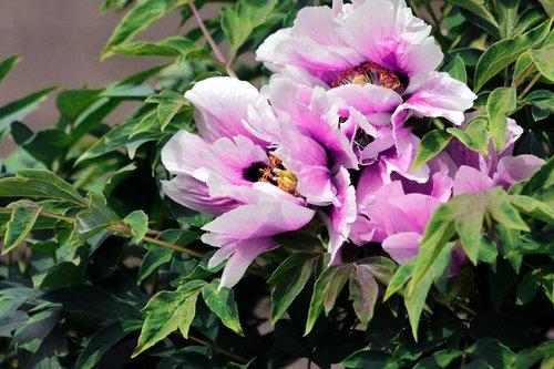 peony  flowers  tree peony