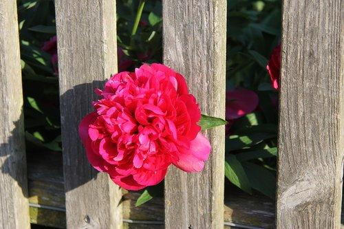 peony  fence  blossom