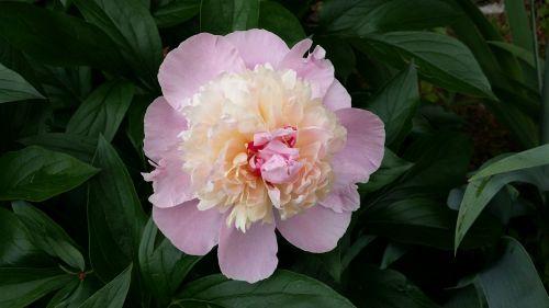 peony pink peony spring flower