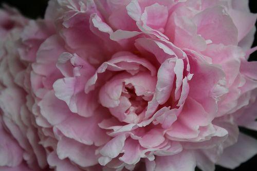 peony baby rose paeoniaceae