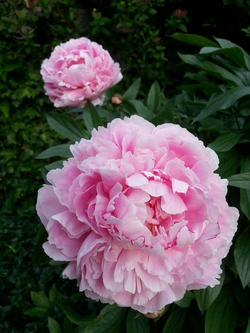 peony  pink  bloom