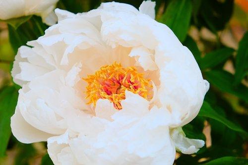peony  white  pollen