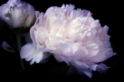 peony  pentecost rosengewächs  flowers