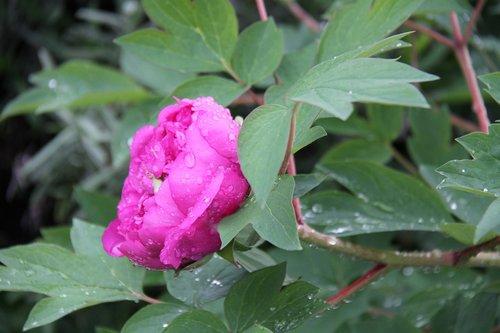 peony  flower  shrub