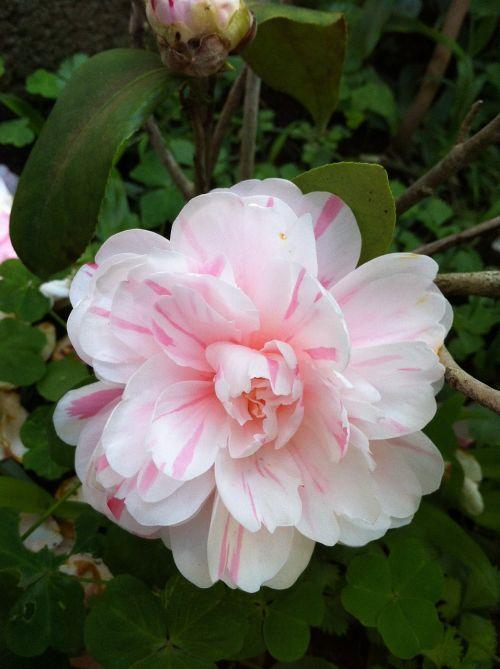 peony torn beauty face flowers