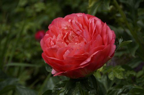 peony pentecost flower