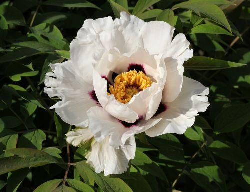 peony paeonia rockii flower