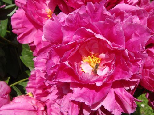 peony flower peony rose