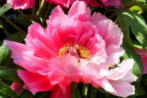 pikonija, gėlė, bičių, rožinis, žiedlapiai, žiedadulkės, apdulkinimas, vabzdys, pavasaris, gamta, lauke, pikoniai ir bičių