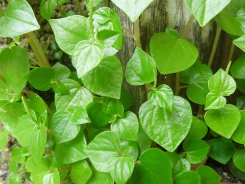 peperomia pellucida green leaves