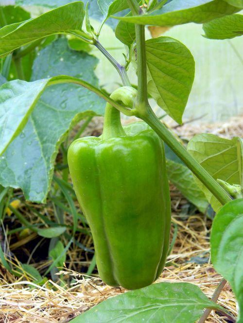 pepper greenhouse farming