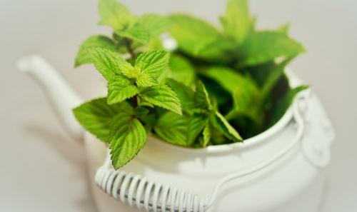 peppermint medicinal plant medicinal herbs