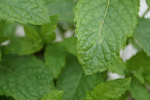 peppermint  green  leaves