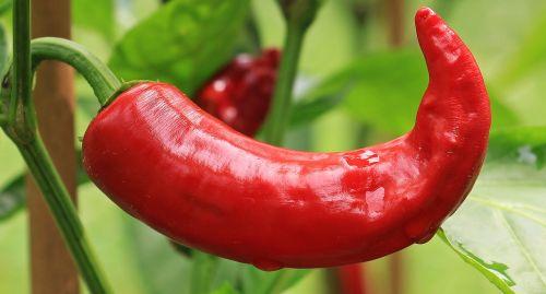 pepperoni paprika nachtschattengewächs
