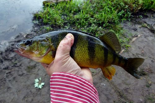 perch yellow perch yellow fish