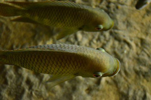 perch cichlid fish