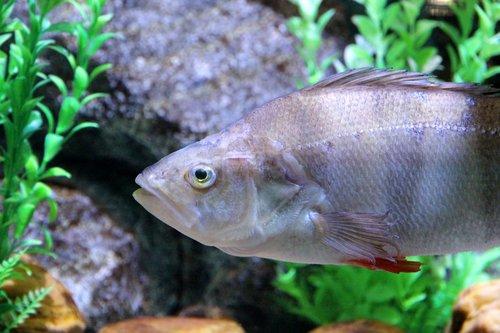 perch  fish  perca