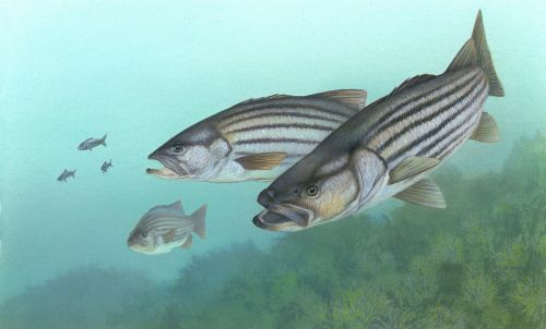perch stripe bass fish