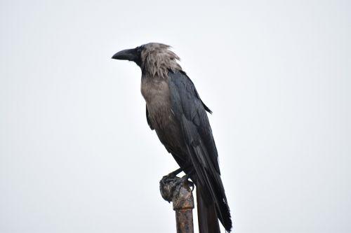 perching bird crow greynecked