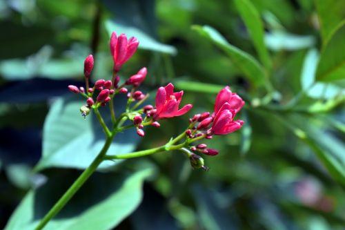 peregrina spicy jatropha shrub