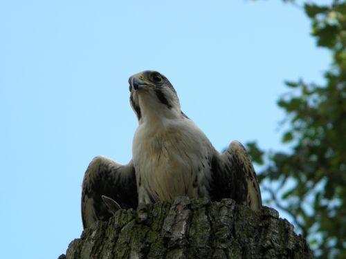 peregrine falcon falcon raptor