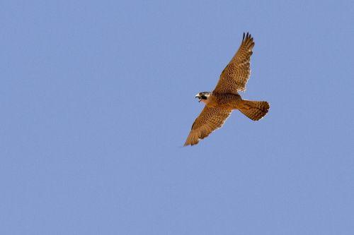 peregrine falcon falcon flying