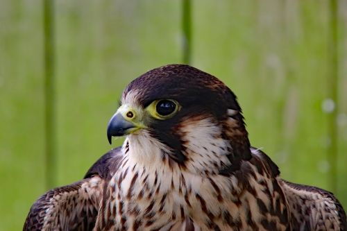 peregrine falcon falcon fast bird