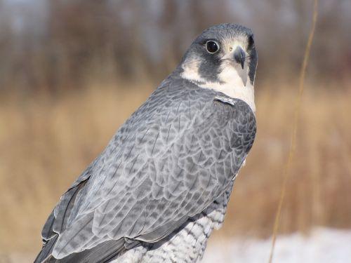 peregrine falcon bird peregrine