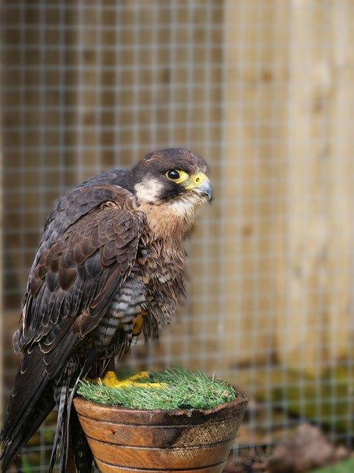 peregrine falcon  falcon  bird