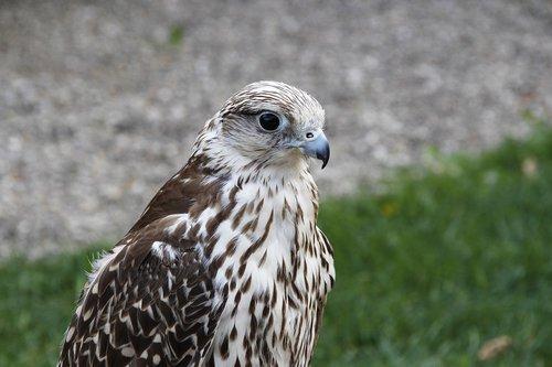 peregrine falcon  bird  falcon