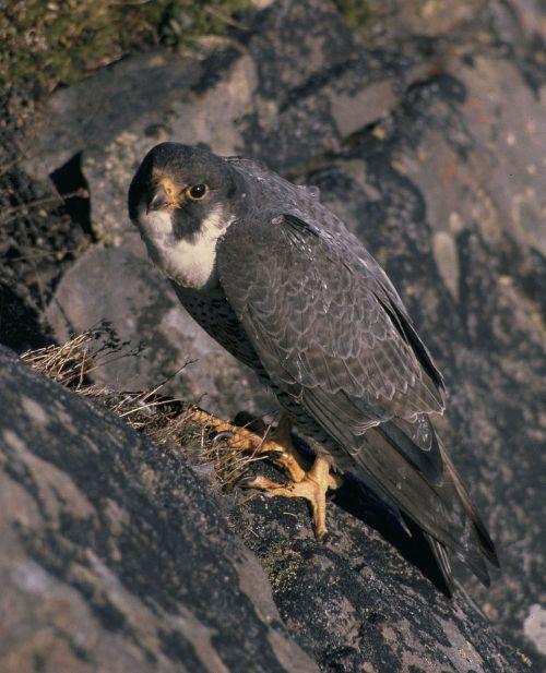 peregrine falcon falcon nest