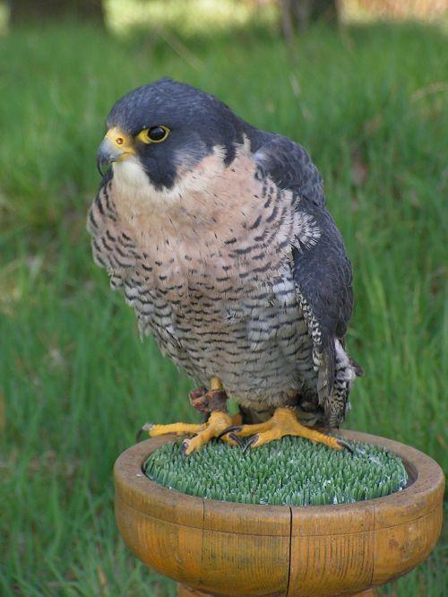 peregrine falcon falco peregrinus falcon