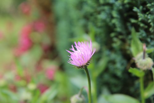 perennial  flowering  pink flower