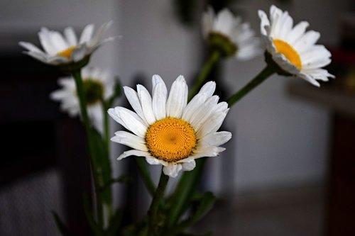 perennial  margarétka  flower