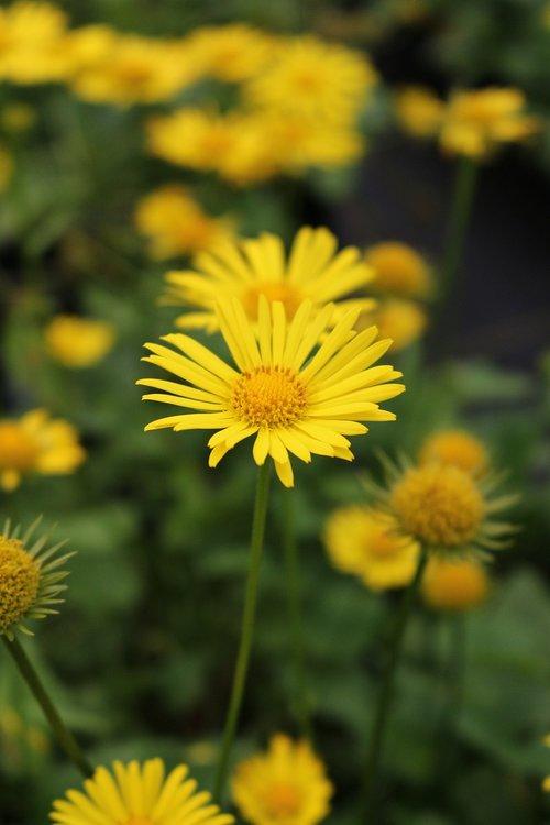 perennial  doronicum  spring