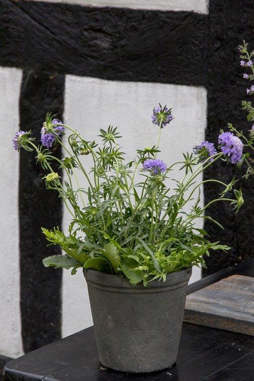 perennial  skabiosa  plant blue flower