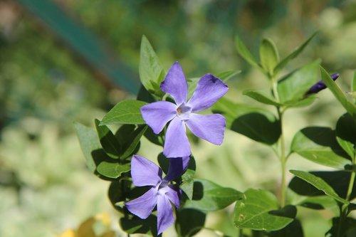 perennial flowers  perennial  violet flowers
