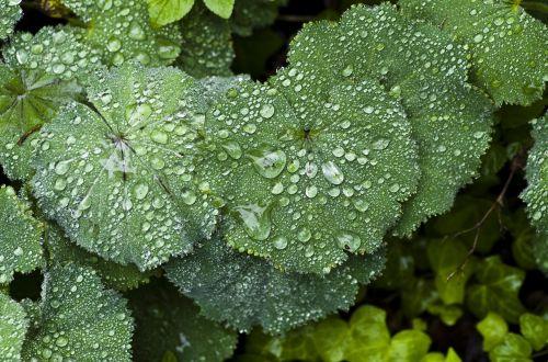 perennial plant frauenmantel rain