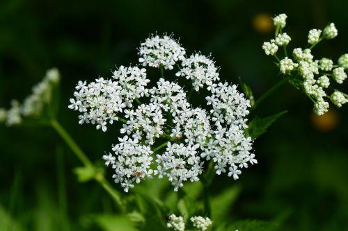 perennial plant white flowers ganguly