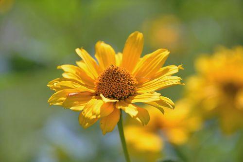 perennial sunflower composites blossom