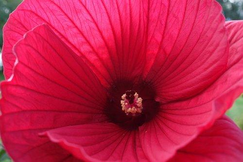 perennials-hibiscus  hibiscus moscheutos hybrid 'galaxy  red